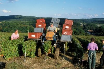 An August start to the Champagne harvest - again